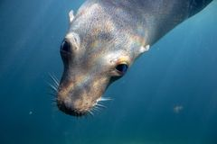 A close up picture of a cute Sea Lion swimming underwater. A close up picture of a cute Sea Lion swimming underwater in buffalo zoo in new york royalty free stock photo