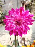 Close up picture of Dahlia stock image