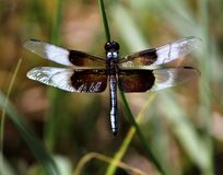 Close up picture of a Dragonfly taken at Inks Lake, TX. stock photos