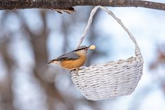 Close up picture of European nuthatch Sitta europaea stock images