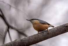 Close up picture of European nuthatch Sitta europaea stock photos