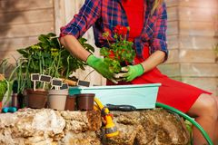 Female hands potting red geranium in a container stock images
