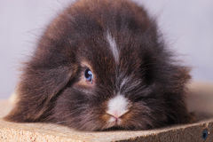 Close up picture of a furry lion head rabbit bunny Stock Photos