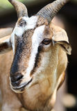 Close up picture of a goat. In the open zoo Royalty Free Stock Photo