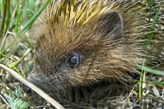 Close up picture of a hedgehog hiding in the grass Royalty Free Stock Images