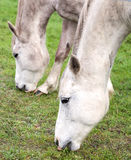 Close up picture of horses grazing on grass Royalty Free Stock Images