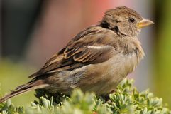 Close up picture of a House Sparrow Royalty Free Stock Photo