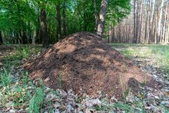 Close up picture of a giant anthill. Close up picture of a hugh anthill in a forest royalty free stock photography