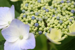 Close up picture of hydrangea Royalty Free Stock Photography