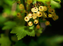 Close-up picture of a juicy yellow currants on a green background Stock Image