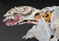 Shedding Leopard gecko licking the loose skin on his face. This is a close up picture of a Leopard gecko trying to lick his loose skin off of his eye as he royalty free stock images