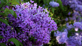 Close up picture on a lilac. Royalty Free Stock Images