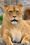 Close Up picture of a lion. Stock Image