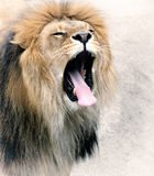 Close Up picture of a lion. Royalty Free Stock Images