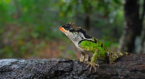 Close up picture of lizard. Beautiful lizard, it has vivid and multicolor skin royalty free stock photo