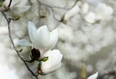 Close up picture of Magnolia flowers blooming in a spring. Hipster filtered photo. Romantic spring seasonal background with Magnolia flowers blooming in a Royalty Free Stock Photos