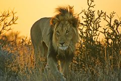 Male Lion silhouetted by setting sun. Close-up picture of male lion with setting sun behind Royalty Free Stock Photos