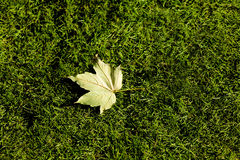 Close-up picture of a maple leaf Royalty Free Stock Photo