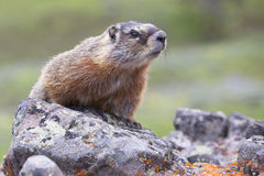 Close-up picture of marmot Stock Image