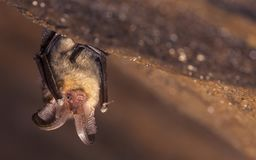 Free Close Up Picture Of Small Brown Long-eared Bat Plecotus Auritus Stock Images - 153206074
