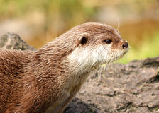 Otter. Close up picture of an otter Royalty Free Stock Images