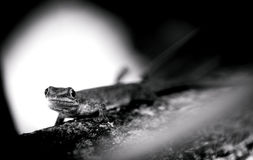 Close-up picture of a Phelsuma astriata staring at the camera. Close-up, monochrome picture of a Phelsuma astriata lizard taken in Cerf Island, Seychelles Royalty Free Stock Images