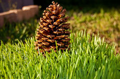 Standing Pine Cone Stock Photography