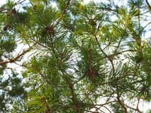Close up picture of pine tree branch with cones royalty free stock image