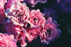 Close Up Picture of Pink Flower Royalty Free Stock Images