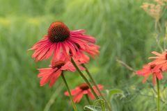 Purple cone-flower. Purple-red color flower with green background royalty free stock image