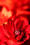 A close-up picture of a red flower Royalty Free Stock Photo