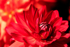 A close-up picture of a red flower Royalty Free Stock Photography