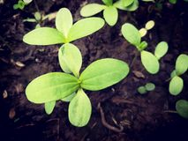 Seedling of plant. Close up picture of Seedling plant Royalty Free Stock Image