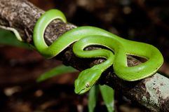 Green snake. Close up picture of Snake on the timber Stock Photography