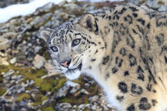 Close up picture of snow leopard Royalty Free Stock Image