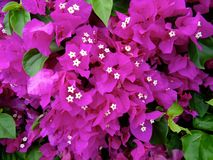 Bouganvillea flowers in Hawaii royalty free stock photography