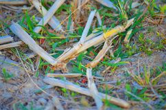 A close up picture of some cut pieces of straws on a grass ground royalty free stock image