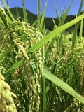 Close up picture of a some rice ear in the Nakatosa area, Japan royalty free stock photos