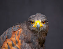 Close up picture of stare-looking young golden eagle Stock Images