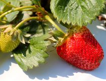Close up Picture of a Strawberry and its Leaves Royalty Free Stock Images