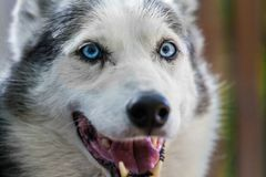 Alaskan Husky dog is looking straight at the camera while looking quite relaxed stock photos