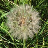 Close up picture of unusual oversized dandelion. Unusually large and beautiful dandelion Royalty Free Stock Images