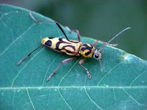 Yellow beetle on a leaf. Close up picture of a yellow beetle with black ornament on its back on a leaf Royalty Free Stock Images