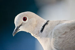 Close up of a pidgeon royalty free stock photography