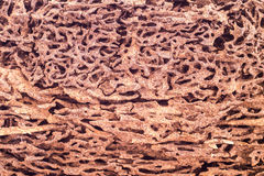 Close up piece of wood eaten by termite Stock Photos