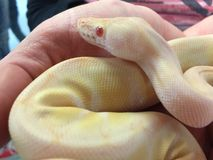 Close up of pied Albino ball python snake being held Royalty Free Stock Image