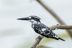 Close up of Pied Kingfisher Royalty Free Stock Images