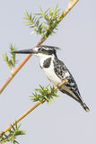 Close up of pied kingfisher Royalty Free Stock Photography