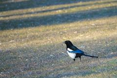 Pied magpie Royalty Free Stock Photo