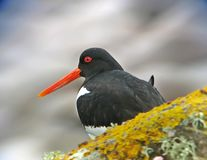 Close-up Pied Oystercatcher. A close up of the beak and head of a European Oystercatcher Stock Images